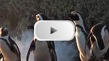Boulders Beach Video Clip